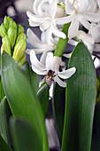 Bee on hyacinth flower