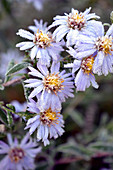 Michaelmas daisies covered in hoarfrost
