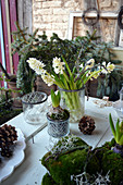 Hyacinths as the first spring flowers in winter