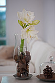 White amaryllis and pine cones in glass vase