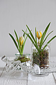 Yellow wild tulips and moss in glass sweet jars
