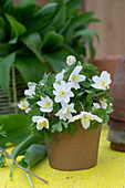 Small bouquet of wood anemones