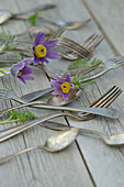 Silver cutlery and pasque flower (Pulsatilla vulgaris)