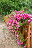 Ramblerrose 'Super Excelsa' am Gartenzaun