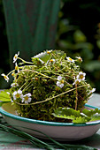 Moss ball decorated with wild strawberry flowers