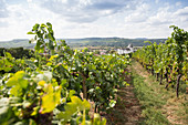 A vineyard with a view of Schloss Berg in Nennig, Perl, Saarland, Germany
