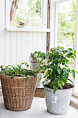 Tomatoes planted in basket and metal bucket in conservatory