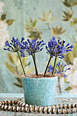 Arrangement of blue agapanthus