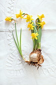 Flowering narcissus bulb on white tablecloth with drawn thread work