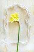 Narcissus flower in stylised frame (Narcissus Cassata)