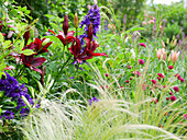 Dark red 'Foreigner' lily with delphinium, Macedonian widow flower 'Mars Midget' and hair grass