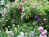 Climbing roses 'Climbing Iceberg', 'Frau Eva Schubert', 'Laguna' and 'Constance Spry' growing behind allium, peonies, and bluebells