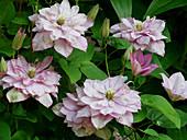 Gefüllte Blüten von Clematis 'Innocent Glance'