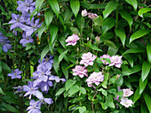 Clematis 'Mrs Chomondeley' and Clematis 'Innocent Glance' with double flowers