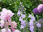 Flowering perennial bed with peony, bellflower and ornamental onion 'Ambassasdor'
