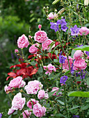English rose 'Harlow Carr' and bluebell