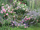 Small shrub rose 'Pink Swany' and 'Lovely Meidiland' with sage, bellflower and catmint 'Six Hills Giant'