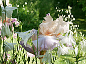 Iris 'Celebration Song' and Columbine with Quaking-grass