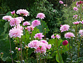 Bed with dahlia 'Pink Perfection'