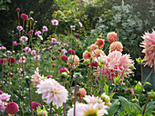 Bed with dahlias 'Burlesca', 'Wizard of Oz', 'Ace Summer Sunset', 'Penhill Watermelon' and decorative basket 'Rose Picotee'