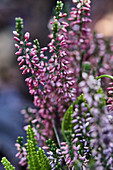 Close-up of flowering heather