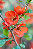 Branch of Japanese flowering quince blossom