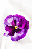 Colossus 'Neon violet' pansy