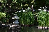 Japanische Sumpfiris im Teich