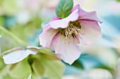 Pink hellebore flower