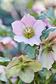 Pink and green hellebore flower