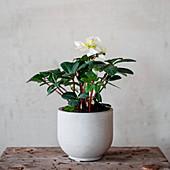 Zimmerblume in weißem Übertopf