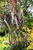 Rotblättrige September-Silberkerze 'Brunette'