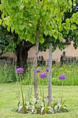 Holländischer Lauch (Allium hollandicum) auf Baumscheibe unter Linde