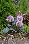 Blühender Blauzungen-Lauch (Allium karataviense)