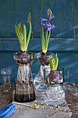Hyacinths with bulbs and roots in bulb vases