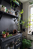Display case used as potting table below shelves on black wall