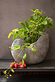 Strawberry plant in ceramic nautilus shell