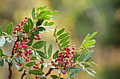 Mastixstrauch, auch Wilde Pistazie (Pistacia lentiscus)