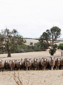Schafherde in australischer Landschaft