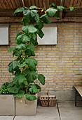 Climbing cucumber plant in rustic conservatory