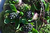Hyacinth flower buds