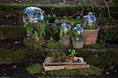 Hyacinths under cloches in early spring
