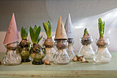 Forcing hyacinths in bulb vases using paper cones