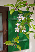Apple blossom in front of window shutter