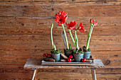 Potted red amaryllis on bench against rustic wooden wall