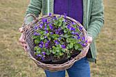 Basket of violets in plastic pots