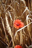 Poppy flowering in cereal field