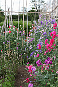 Trellis with blooming sweet peas