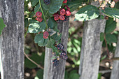 Blackberry with red and black fruits