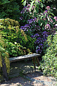 Wooden bench in front of Sargent hydrangea and goatsbeard